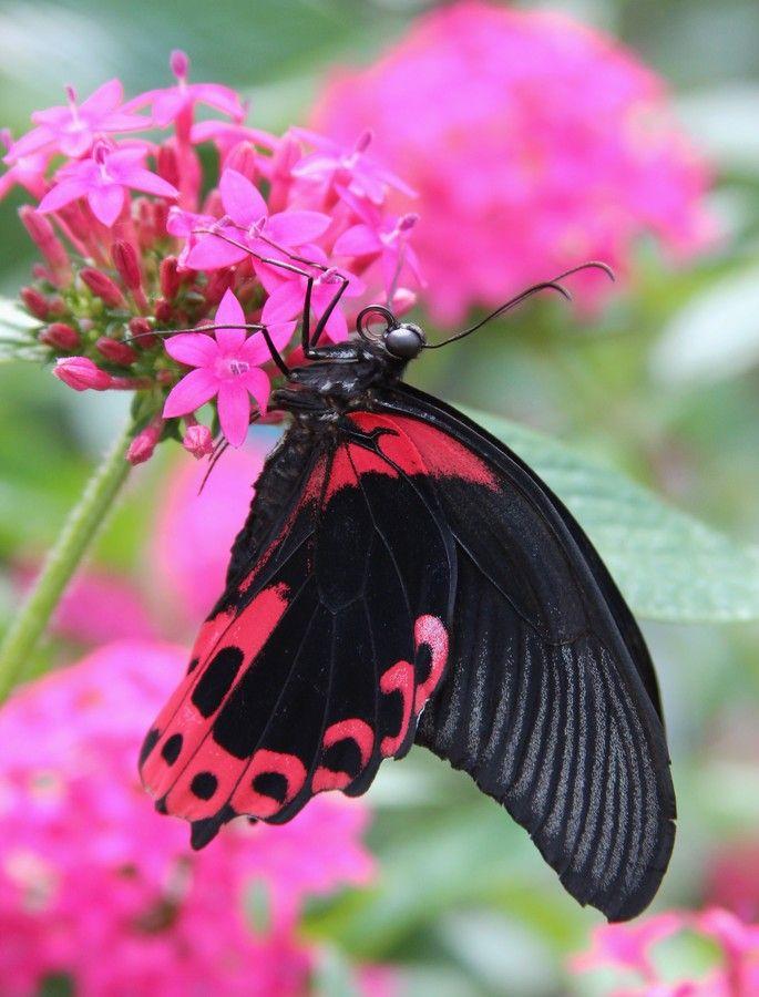 borboleta rosa com preto