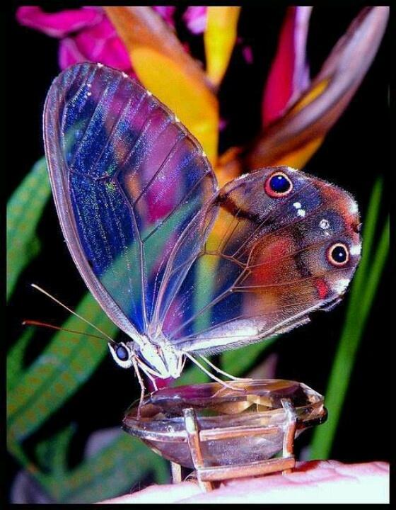 borboleta transparente