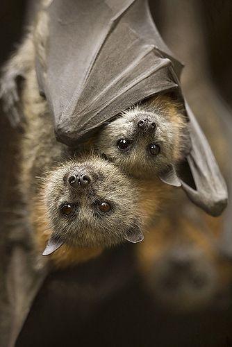 morcego abraçado